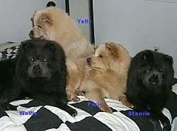 Two black Chow Chow puppies are laying down. Two tan Chow Chow puppies are looking to the right. They all are on a black and white checkered pattern bed set.