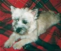 Madison the Cairn Terrier is laying on a sheet that has a pattern like a kilt