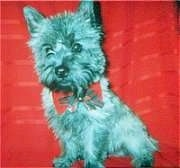 Winston the Cairn Terrier is sitting on a red backdrop and wearing a bow tie