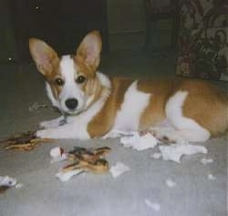 A Pembroke Corgi is laying on  carpeted floor surrounded by tissue and other chewed items and is looking towards the camera holder