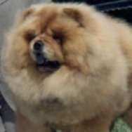 Chow Chow Puppy Dogs