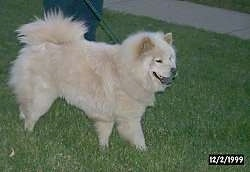 Coca the white Chow Chow is standing in a lawn with its mouth open. There is a person standing behind it and a sidewalk in the distance.