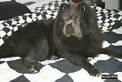 Wolfie the black Chow Chow is laying on a black and white checkered pattern bed set.
