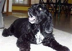 Black Cocker Spaniel laying on a floor looking to the side