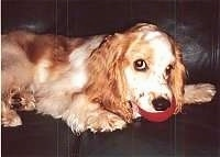 The right side of a tan American Cocker Spaniel that is laying on a couch with a toy ball in its mouth