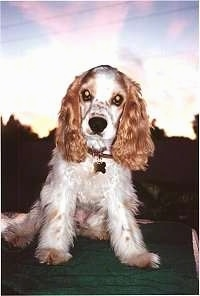 A tan and white American Cocker Spaniel is sitting outside.