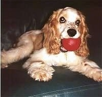 The front right side of a tan American Cocker Spaniel that is laying on a couch with its head up it has a red toy ball in its mouth
