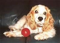 A tan American Cocker Spaniel is laying on a couch with a red toy ball next to its front paws