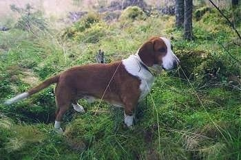 Drevers  (Swedish Dachsbrackes)