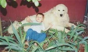A Great Pyrenees is laying against a red barn wall outside with a small boy laying up against the dogs belly.