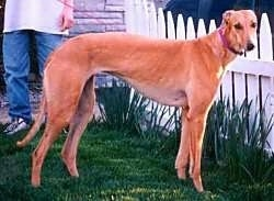 A tan Greyhound is standing in grass with a white picket fence in front of it and a person behind it