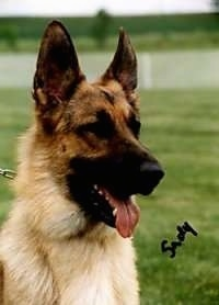 Close Up Head Shot - A black and tan German Shepherd is sitting in a field. The words - Sady - are overlayed