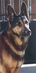 Upper body shot - A black and tan German Shepherd is sitting in front of a gate