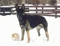 A black and tan German Shepherd is standing in snow with a white soccer ball next to it and a brown wooden picket fence behind it.