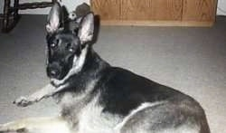 German Shepherd Dog (Alsatian) (Deutscher Schaferhund) Puppy Dogs