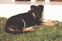 A black and tan German Shepherd puppy is laying in grass against a white wall.