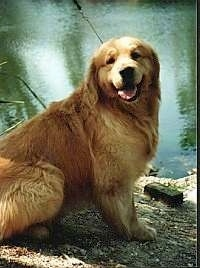 A happy looking Golden Retriever is sitting in front of a body of water. Its mouth is open and tongue is out