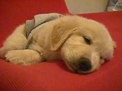 A Golden Retriever puppy is wearing a gray shirt sleeping on a red blanket
