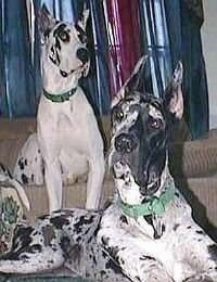 Two harlequin Great Danes are sitting in front of each other. One is sitting on a couch and the other one is sitting in front of it on the floor.