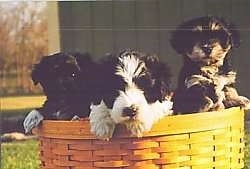 Three Havanese puppies are outside in a wicker basket that looks like a Longaberger with their front paws over the edge.