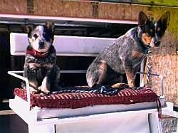 Two Australian Cattle Dogs sitting on a bench in a horse carriage and they are looking forward.