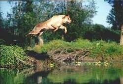 Calamity Jane the Labrador Retriever is jumping off of a bank into a body of water