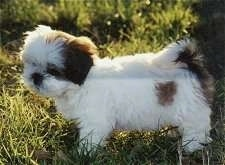 A small, fluffy white with black Lhasa Apso puppy is standing in grass looking at the ground.