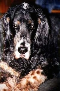 Close Up - Sammy the English Setter