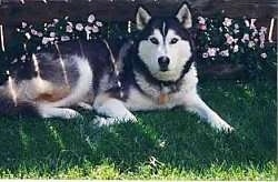 Kode the husky dog laying in a yard with a flower bed and wooden fence behind it