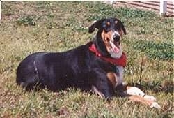 Sawyer the Doberman/Collie mix laying in the lawn with its mouth open and tongue out