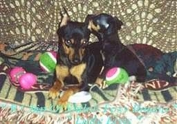 Two black and tan Miniature Pinschers, one Full Grown and another a puppy, are laying on a tan couch on top of a tan and black blanket. There are two green and pink tennis balls around them. The puppy is licking the ear of the adult.
