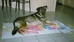 A shorthaired, black and tan with white Alaskan Malamute/Husky mix is laying on papers of a full body drawing of a girl on top of a tan tiled floor.