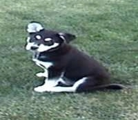 A black with white Husky mix puppy is sitting in grass.