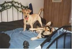 Two dogs on a human's bed that is covered in a blue blanket - A yellow Labrador/Rottweiler mix is standing and next to it is a black and tan German Shepherd/Husky that is laying on its side.
