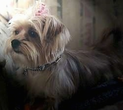 side view upper body shot - A small breed, longhaired, tan Yorkie mix is laying on a bed and it is looking to the left with a pink bow in its top knot.