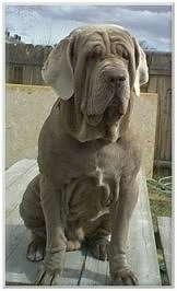 Front view - A natural-eared, wrinkly, grey Neapolitan Mastiff is sitting on top of a wooden picnic table.