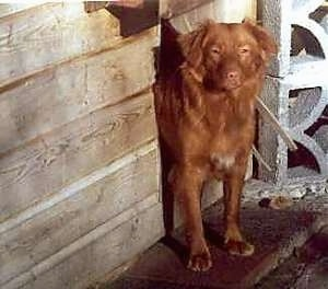 Front view upper body shot - A red with a tuft of white Nova Scotia Duck-Tolling Retriever is peering out a door in front of a wooden dog house looking forward.
