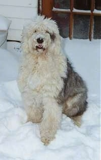 Front view - A grey with tan Old English Sheepdog is sitting in snow looking up. Its mouth is parted slightly.