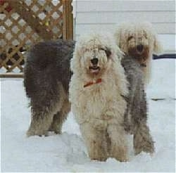 Two grey with white Old English Sheepdogs are standing in snow looking forward in front of a white house.