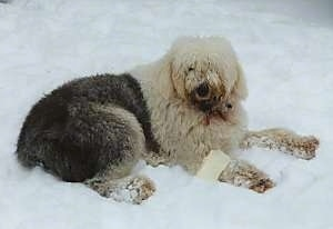 A shaggy grey with tan Old English Sheepdog is laying outside in snow with a bone over its front paw looking towards the camera.