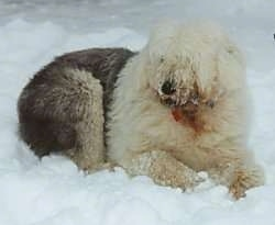 A shaggy grey with tan Old English Sheepdog is laying in snow and it is looking to the left. It has snow on its face and at the bottom of its ears.