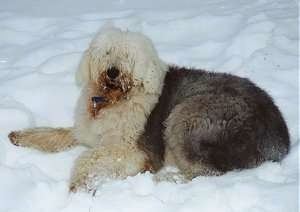 Side view - A shaggy grey with tan Old English Sheepdog is laying in snow looking forward. There is snow on its mouth.