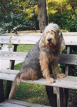A shaggy, tan with brown and white Otterhound dog is sitting outside on a wooden bench and it is looking to the left. Its mouth is open and its tongue is slightly out. It has long drop ears and hair covering its eyes.