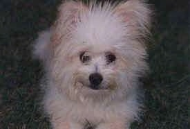 Close up head and upper body shot - A fuzzy white with tan Pomapoo is sitting in grass and it is looking up and forward.
