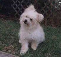 A fuzzy white with tan Pomapoo is sitting on grass and it is looking forward. Its head is tilted to the right. There is a wooden fence behind it.