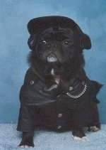 A black Pug dog is wearing a Harley Davidson outfit sitting on a blue rug in front of a blue backdrop looking forward.