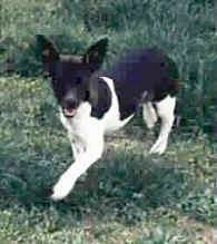 Front side view - A black and white Rat Terrier is standing in grass and it is looking forward. Its mouth is open and it looks like it is smiling.