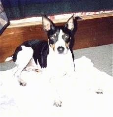 A black and white with tan Rat Terrier is laying on a white blanket and it is looking forward.