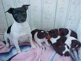 A black and white Rat Terrier is sitting on a blanket and to the right of it is a litter of black and white Rat Terrier puppies.
