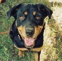 Top down view of a black and tan Rottweiler is sitting in grass and it is looking up. Its mouth is open and it is smiling.